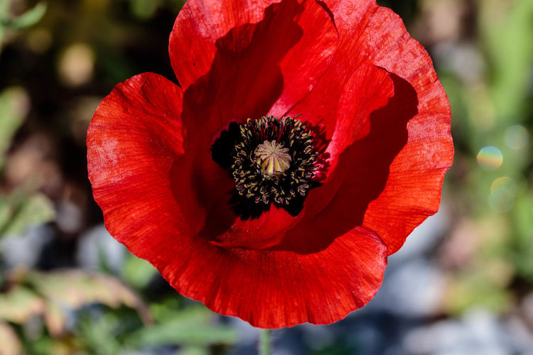 A poppy is a flowering plant in the subfamily Papaveroideae of the family Papaveraceae. Poppies are herbaceous plants, often grown for their colourful flowers. One species of poppy, Papaver somniferum, is the source of the narcotic drug opium which contains powerful medicinal alkaloids such as morphine and has been used since ancient times as an analgesic and narcotic medicinal and recreational drug. It also produces edible seeds. Following the trench warfare in the poppy fields of Flanders, Belgium during World War I, poppies have become a symbol of remembrance of soldiers who have died during wartime. https://en.wikipedia.org/wiki/Poppy Red Petal Close-up Flower Head Flower Beauty In Nature Nature Poppy Flower EyeEm EyeEm Nature Lover