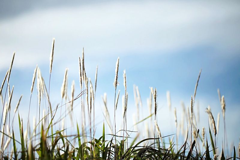 Close-up of fresh grass on field against sky