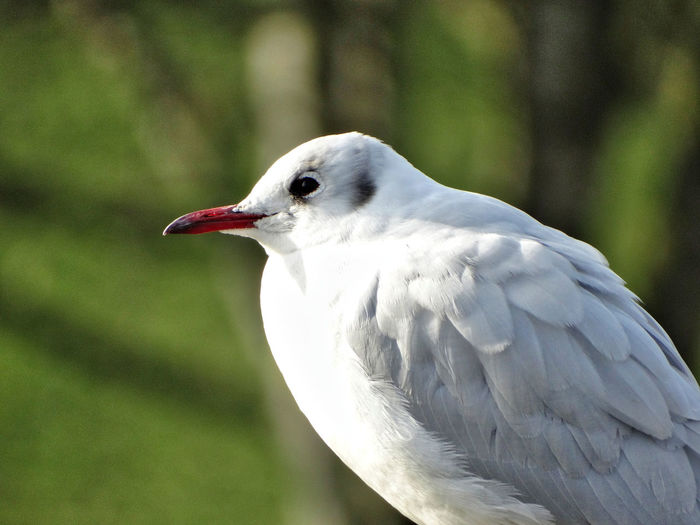 Seagull up close. Bird Animal Themes Vertebrate One Animal Animal Animals In The Wild Animal Wildlife Focus On Foreground White Color Close-up No People Day Side View Beak Nature Animal Body Part Outdoors Looking Perching Looking Away Animal Head  Profile View Seagull Seagulls Animals In The Wild Birds Feather