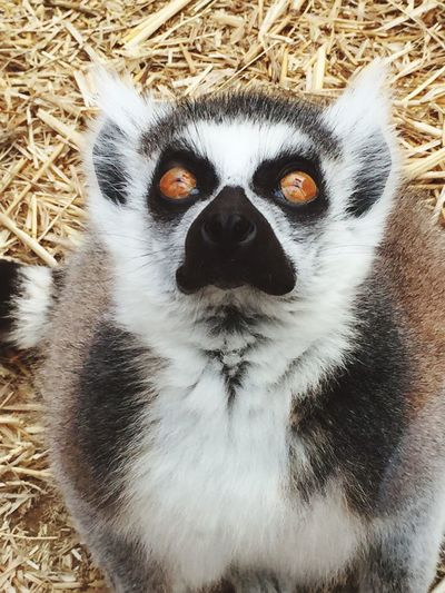Lemur Lemur Close-up No People One Animal Nature Animal Wildlife