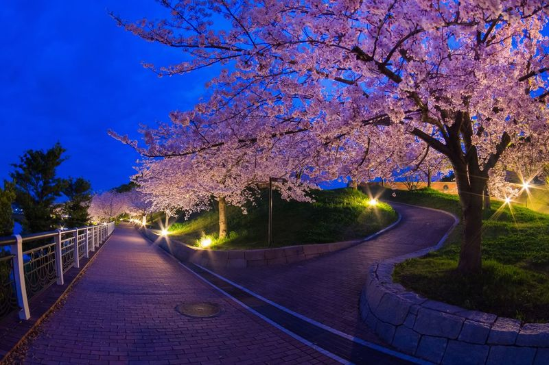 View Of Cherry Blossom At Night