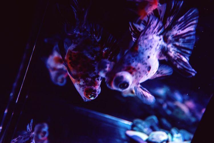 Aquarium Goldenfish Goldfish 金魚 きんぎょ きんぎょ Japan Japan Photography アートアクアリウム