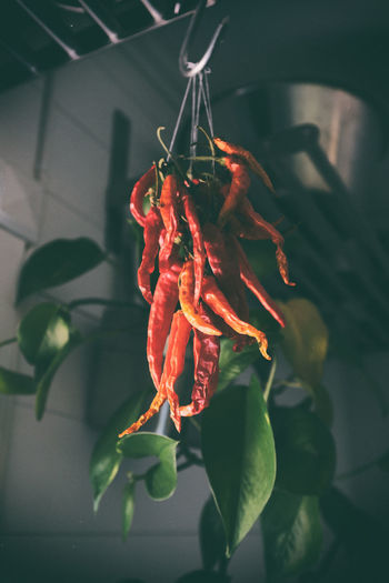 my kitchen Analogue Chili Pepper Cooking Feeling Hemma Bäst Home Sweet Home Kungshamn Mat Sweden Chili  Close-up Eyeem Sweden Food Food And Drink Foodporn Fujifilm X100f Hanging Healthy Eating Indoors  Kitchen Köket Matlagning No People Sverige X100f
