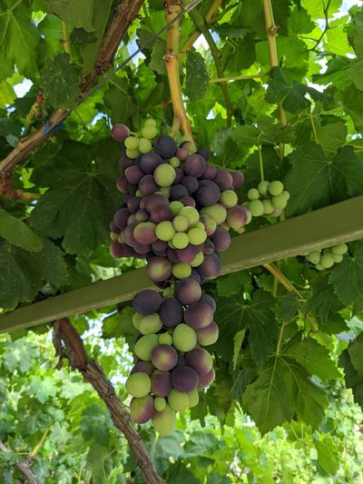 Low angle view of grapes growing in vineyard