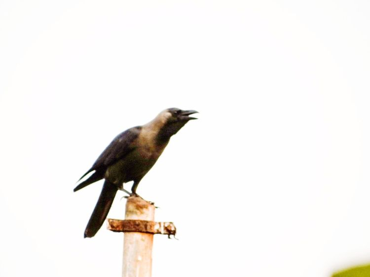 THE CROW IS CAWING Cawing Crow Cement Pole Day Bird Perching Clear Sky Outdoors Sky