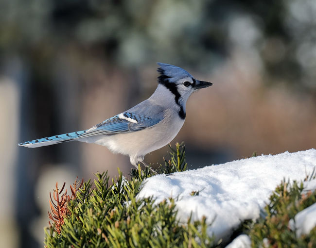 Bluejay Bird