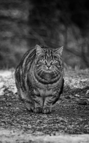 Portrait of cat standing on footpath