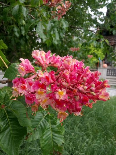 Chestnut Flowers Outdoors Flower Head Flower Leaf Pink Color Red Petal Close-up Plant Blooming