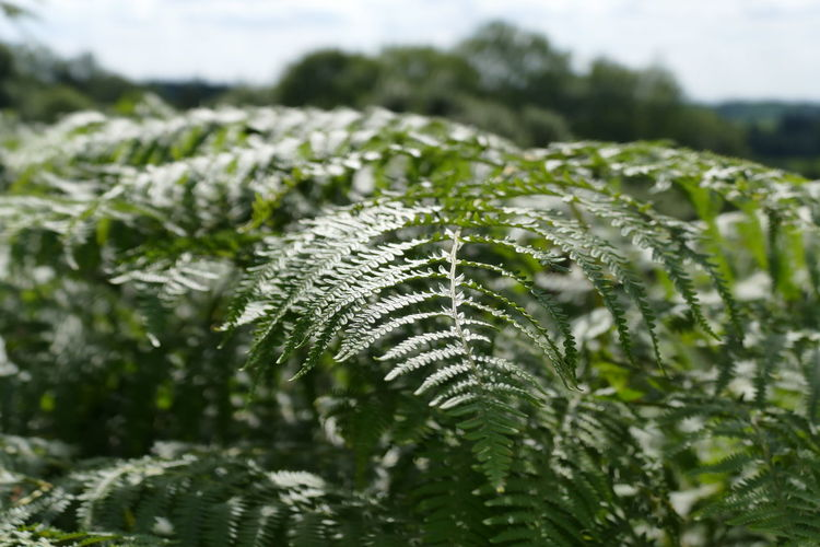 Close-up of ferns growing on sunny day