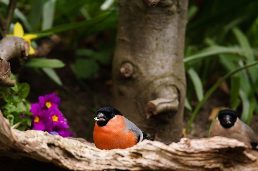 Dompfaff, auch Gimpel genannt Dompfaff Gimpel Bird Nature Animal Wildlife Animals In The Wild Animal Themes Garden Photography Spring