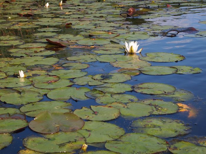 Lilly Pad Lillypads