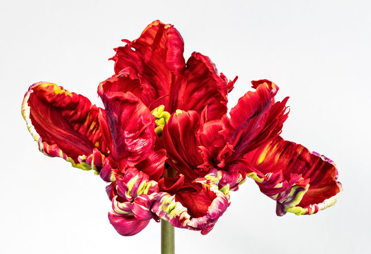 Beauty In Nature Close-up Flower Flower Head Petal Red Studio Shot White Background