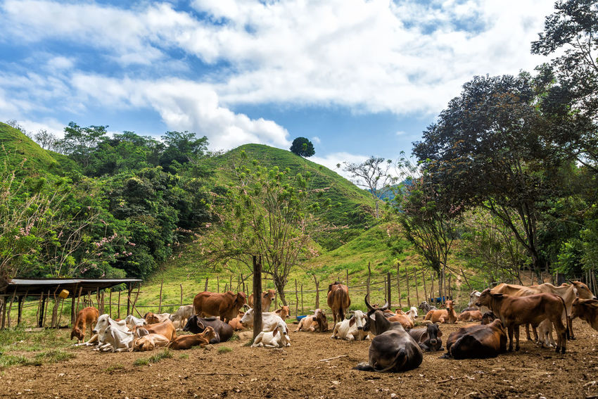 Herd of cattle with lush green hills in the background Ancient City Ciudad Perdida Colombia Cow Cows Exploration Famous Forest High Indigenous  Jungle Lost Nature Rainforest Remote Rock Ruin Santa Marta, Colombia Sierra Nevada De Santa Marta South America Structure Traditional Trail Travel