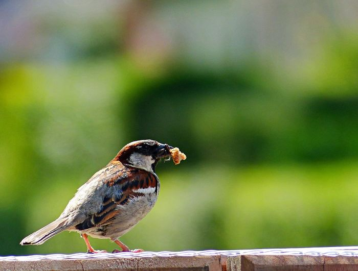 Animal Themes Animal Vertebrate One Animal Animal Wildlife Bird Animals In The Wild Focus On Foreground Perching Day Close-up Sparrow No People Wood - Material Nature Outdoors Selective Focus Full Length Railing Songbird