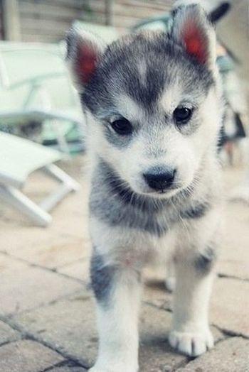 Dog Haski Animals Friend