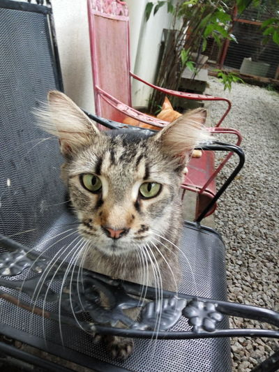 Domestic Cat Pets Animal Themes One Animal Domestic Animals Looking At Camera Whisker Indoors  Close-up Day No People