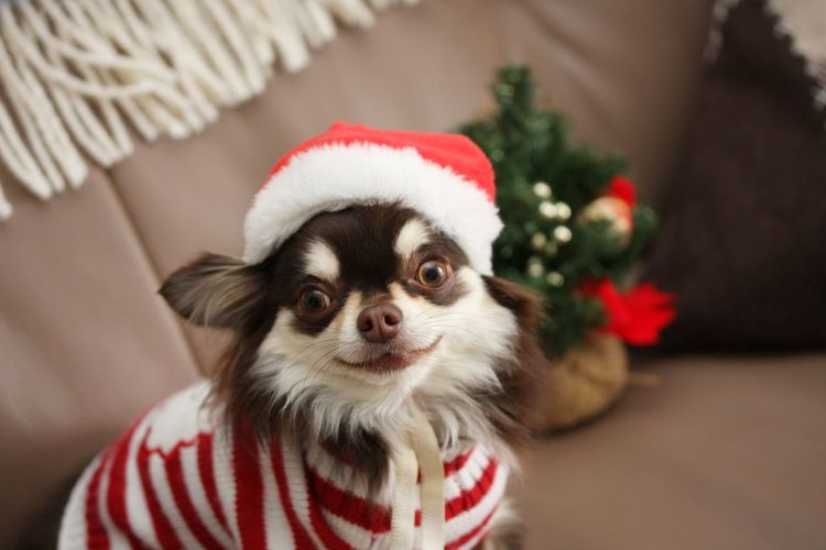 Chihuahua Chihuahua Love ♥ Chihuahualovers Christmas Dog Dog Love