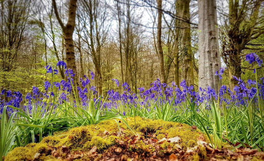 Flower Growth Nature Beauty In Nature Outdoors Freshness Bluebell Wood Bluebells Wiltshire UK