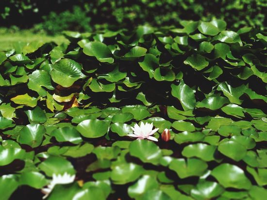 magic Flower Green Color Green Pink White Flower Flower Water Leaf Flower Head Close-up Plant Green Color Water Lily Floating On Water Water Plant Floating Lotus Water Lily Hydrangea Plant Pod Leaves