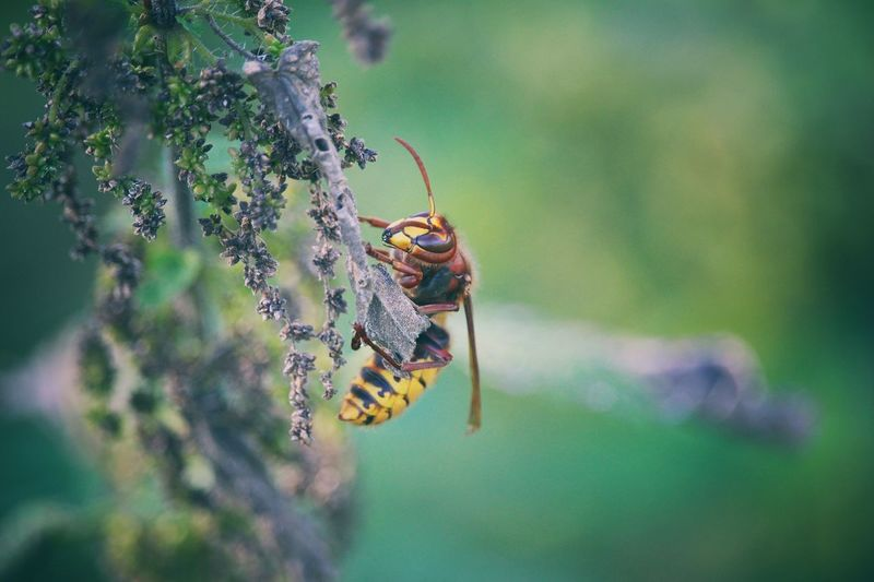Insect Animals In The Wild Animal Themes One Animal Animal Wildlife Nature Day Focus On Foreground No People Outdoors Close-up Green Color Plant Leaf Beauty In Nature Hornisse