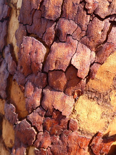 Colours In Nature Eucalyptus Tree Bark Forms & Shapes In Nature Live For The Story Patterns In Nature Rich Brown & Mustard Colors Textures In Nature Tree Bark Tree Bark Patterns Tree Bark Texture