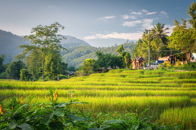 Rice fields in Thailand Plant Landscape Tree Land Field Scenics - Nature Rural Scene Environment Green Color Growth Sky Mountain Beauty In Nature Nature Agriculture Farm Tranquil Scene Cloud - Sky Architecture Grass No People Outdoors