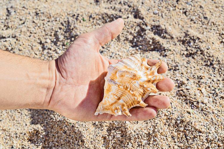 Cropped Hand Holding Seashell At Beach During Sunny Day