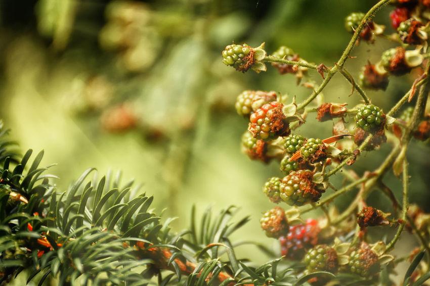 Fruity Beginnings Berries Green Color Nature Branch Close-up Leaf Macro Season