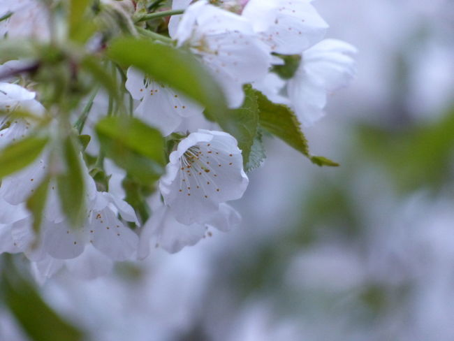 Beauty In Nature Blossom Tree Cherry Tree Flower Nature Outdoors Spring Has Arrived White Color