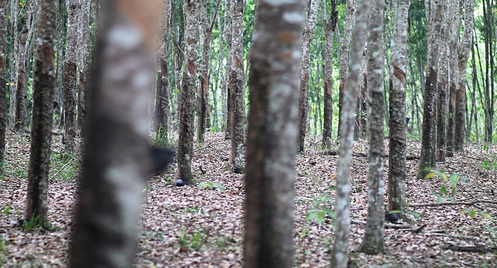 Pohon karet Taking Photos Rubber Plantation INDONESIA Kalimantan Selatan Borneo Pohon Karet Kebun Karet Hutan Karet Garden Photography