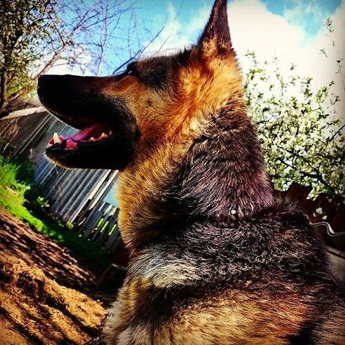 собака дэйзи другчеловека домошнийзоопарк овчарка