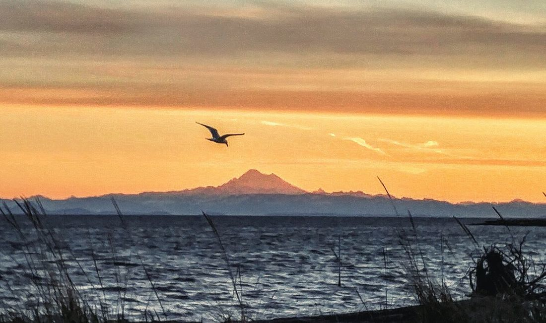 Seagull taking advantage of the updrafts with Mt Baker in the background. Sunrise Eye4photography  Day Daybreak Sunrise Silhouette Mt. Baker Washington State Dungeness Ocean View EyeEm Best Shots Worth It  EyeEm Gallery No People Wildlife & Nature Shorebird No Filters Or Effects Natural Beauty Learn & Shoot: Balancing Elements Blue Wave The Great Outdoors With Adobe The Great Outdoors - 2016 EyeEm Awards 43 Golden Moments Colour Of Life