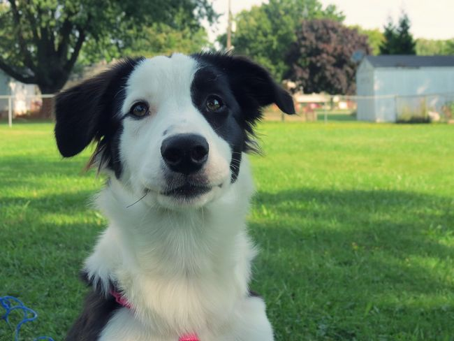 Animal Themes Black And White Border Collie Close-up Day Dog Doggo Domestic Animals Embers Pets Grass Looking At Camera Mammal Nature No People One Animal Outdoors Pets Portrait Pupper