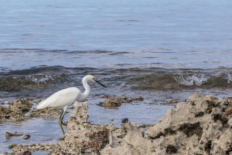 Egret on the