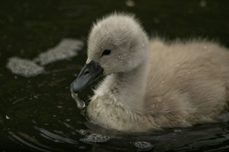 Close-Up Of Cygnet Swimming In Pond