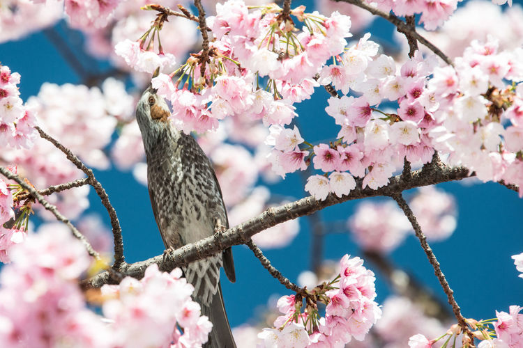 Bird Perching Amidst Cherry Blossoms On Tree Branches