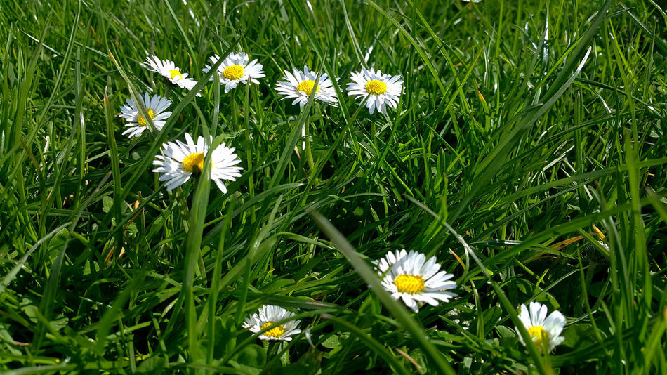 Grow wherever you are planted. Daisy Flower EyeEm Flower EyeEm Flower Lovers EyeEm Flowers Collection Eyeem Flowers Gallery Flower Daisy Grass White Flower At Its Best Blooming Close-up Daisy Daisy Flower On Grass Daisy Flowers Flower Bloom Flower Collection Eye Em Nature Lover Flower Head Flower Photography Flower Photography Springtime Flower Porn Flowers Flowers_collection Flwoer Head White Flower White Flower Blooming White Flowers