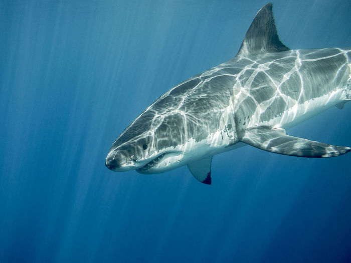 Close-Up Of Great White Shark Swimming In Sea