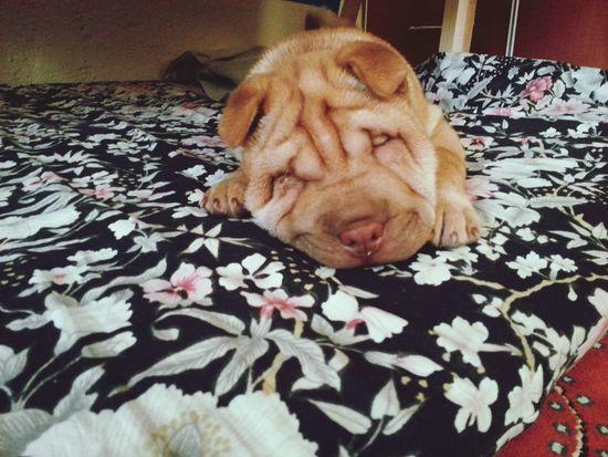 Taking Photos Sleepy Sleeping Sleeping Dog SoSweet Puppy Puppy❤ Enjoying Life Zzzz... Zzz
