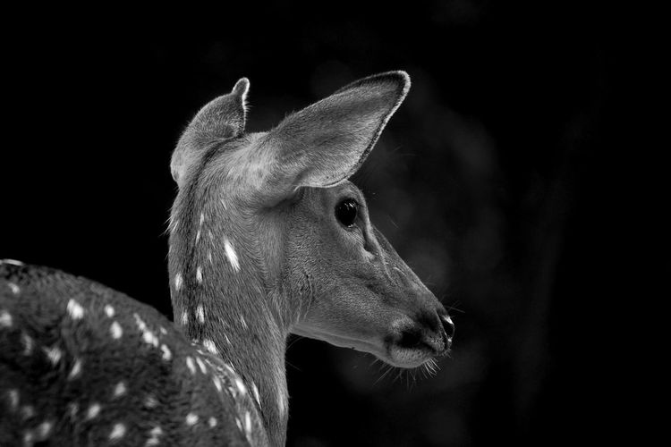 Close-up of deer