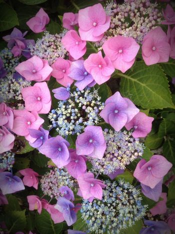 Beauty In Nature Flower Blooming Freshness Flower Head EyeEmNewHere Pretty Nature_perfection EyeEm Nature Lover Variety Of Nature Hydrangea