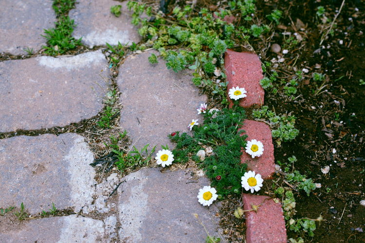 Cracks Sidewalk Close-up Day Flower Flower Head Flowering Plant Flowers Footpath Green Color Growth High Angle View Leaf Lichen Moss Nature No People Outdoors Petal Plant Plant Part Spring Stepping Stone Walkway Weeds