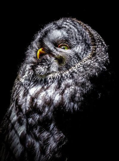Moonlight Look through the window Animal Animal Body Part Animal Eye Animal Head  Animal Themes Animal Wildlife Animals In The Wild Beak Bird Bird Of Prey Black Background Close-up Eagle Indoors  Looking Looking Away Nature No People One Animal Owl Portrait Studio Shot Vertebrate