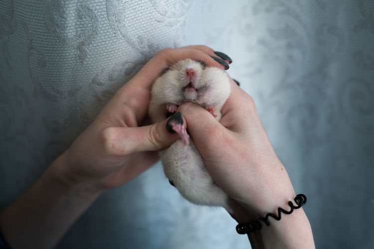 Midsection of woman holding in hands the hamster