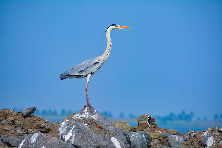 Grey heron bird perching on rock.