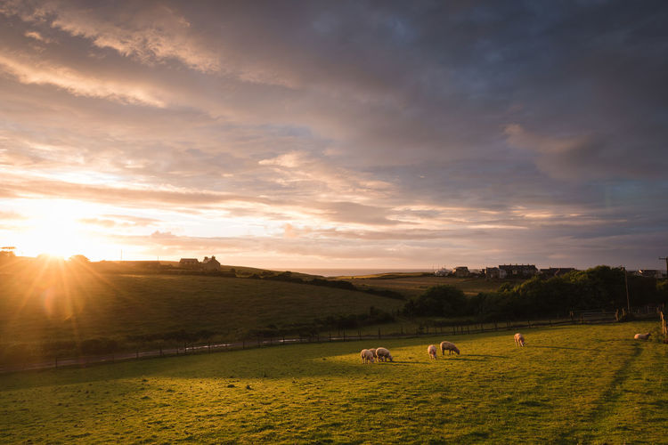 Sheep grazing on field against sky during sunrise