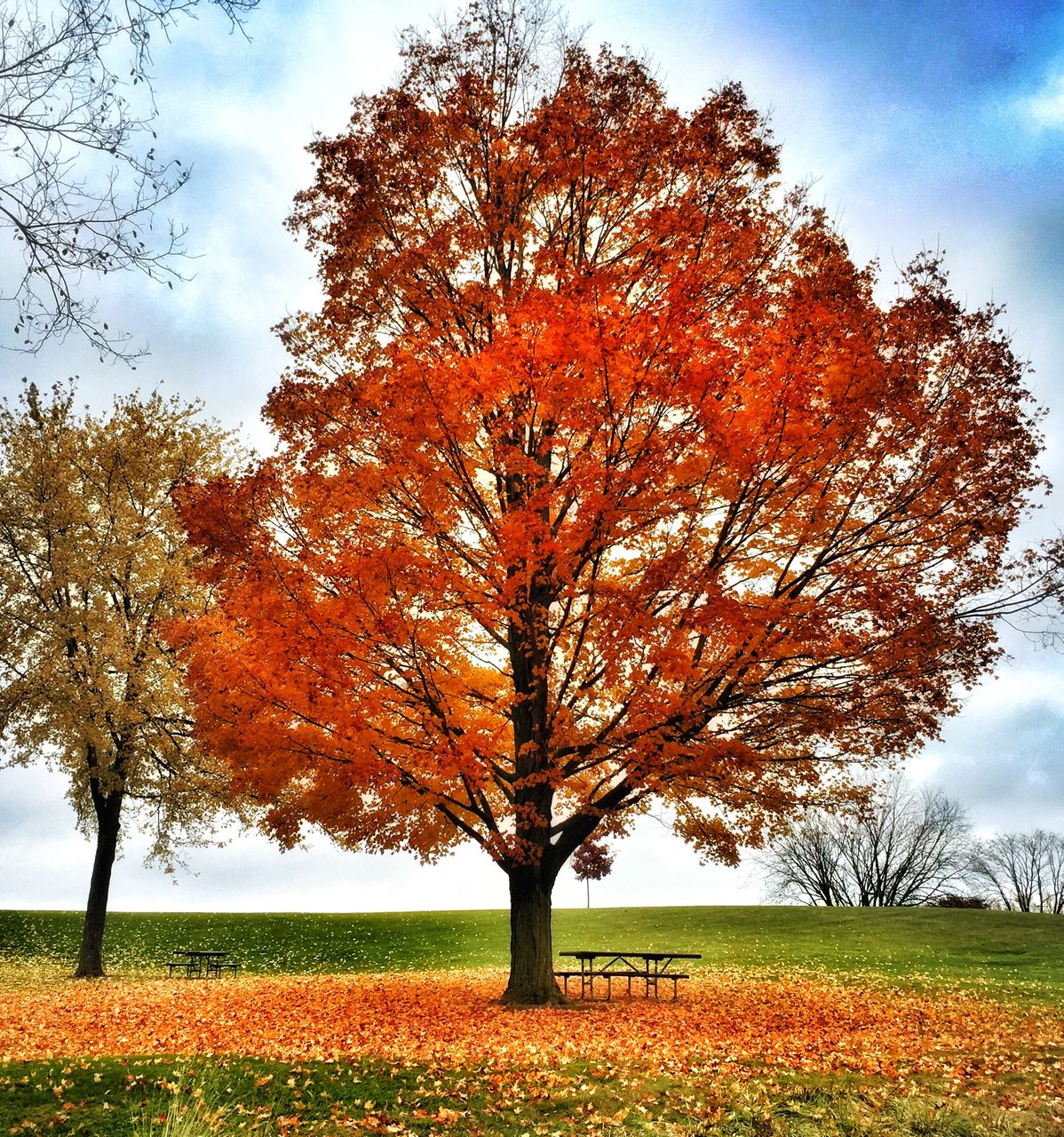 tree, autumn, nature, orange color, landscape, tranquility, beauty in nature, solitude, change, sky, tranquil scene, grass, field, scenics, leaf, outdoors, lone, growth, branch, day, no people, maple