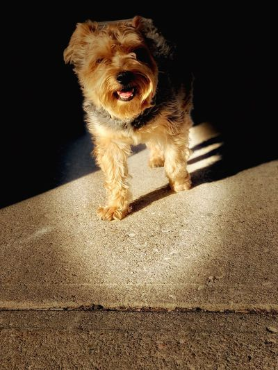 i told you so - afternoon walking Walking YorkieBestShots Yorkshire Yorkshire Terrier Dog Pets Mammal Sunlight Close-up