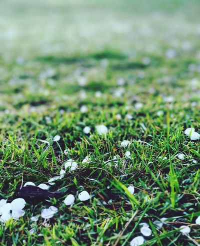 Hail Nature Field Grass Growth No People Selective Focus Outdoors Beauty In Nature Day Tranquility Close-up Fragility Freshness