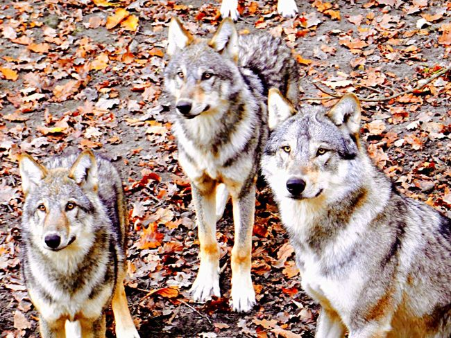 Wolf Zoo Animals Colors Colorful Rsa_nature Contrast Instagood Instadaily Enjoying Life